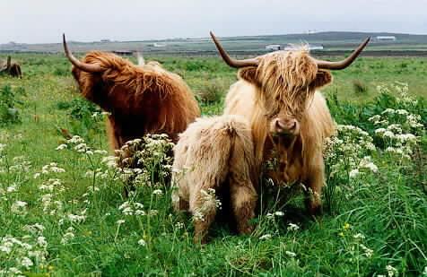 Highlandcows