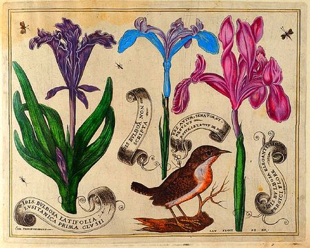 Livres-de-fleurs-1620-p19-bird-and-mauve-and-lavender-and-perriwinkle-irises