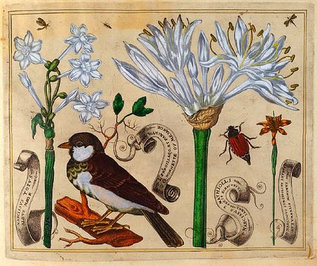 Livres-de-fleurs-1620-p21bird-and-white-narcissis-and-beetles