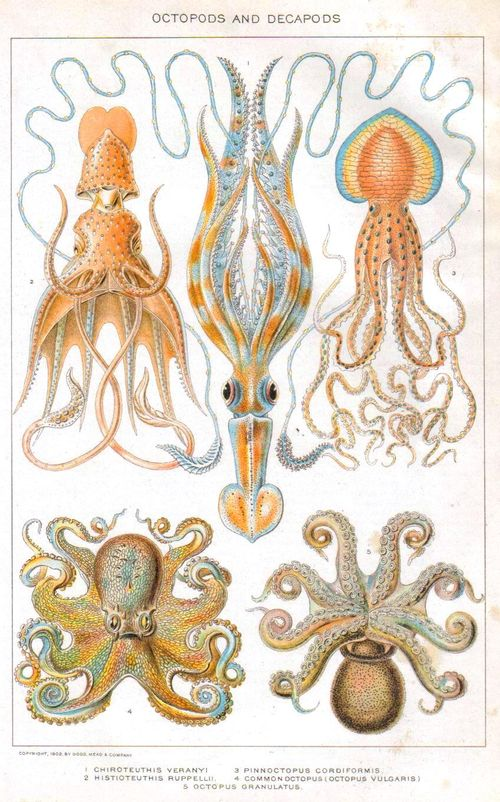 Animal-Curiosity-octopus-educational-plate-1902