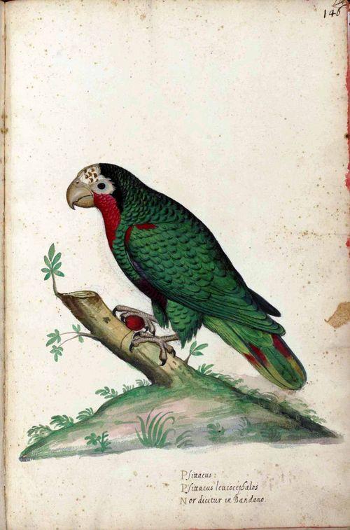 Animal-Bird-Parrot-Italian-1