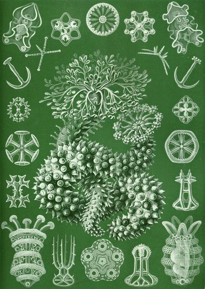 Art-Haeckel-Thuroidea