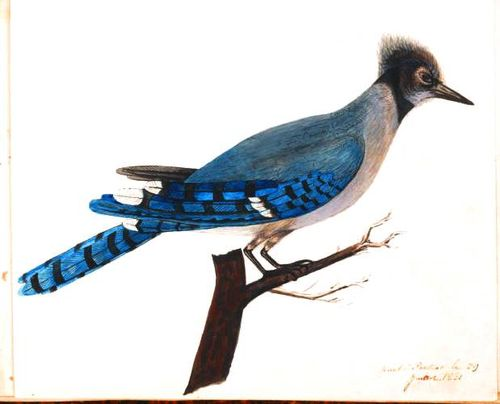 Animal-Bird-Bluejay