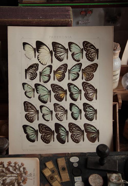 Papillon_1121