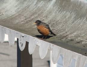 Robin1_290