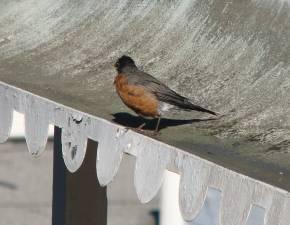 Robin3290