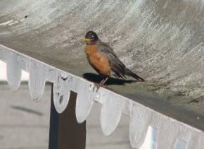 Robin5290_2